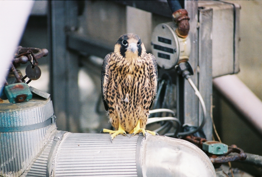 This falcon is resting on equipment at the TMI nuclear power plant site. Photo courtesy of TMI